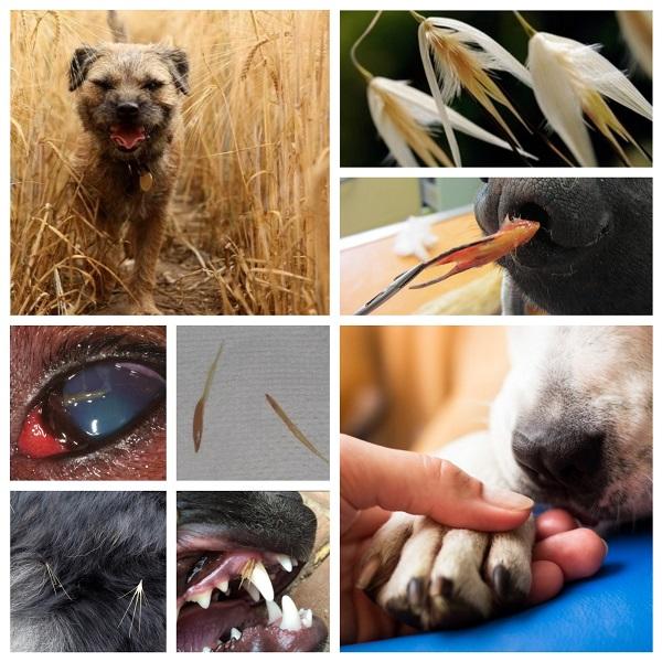 Attention aux épillets - Clinique Vétérinaire AnimaVet St ...